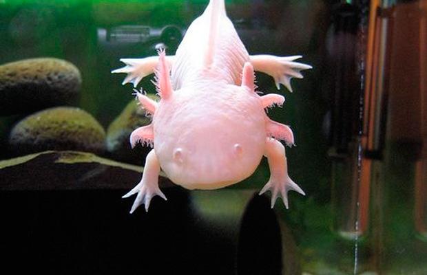 mavisehir-dergisi-axolotl5