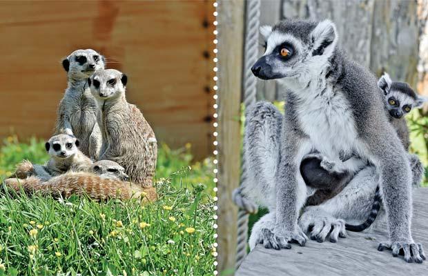 mavisehir-dergisi-lemurlar2